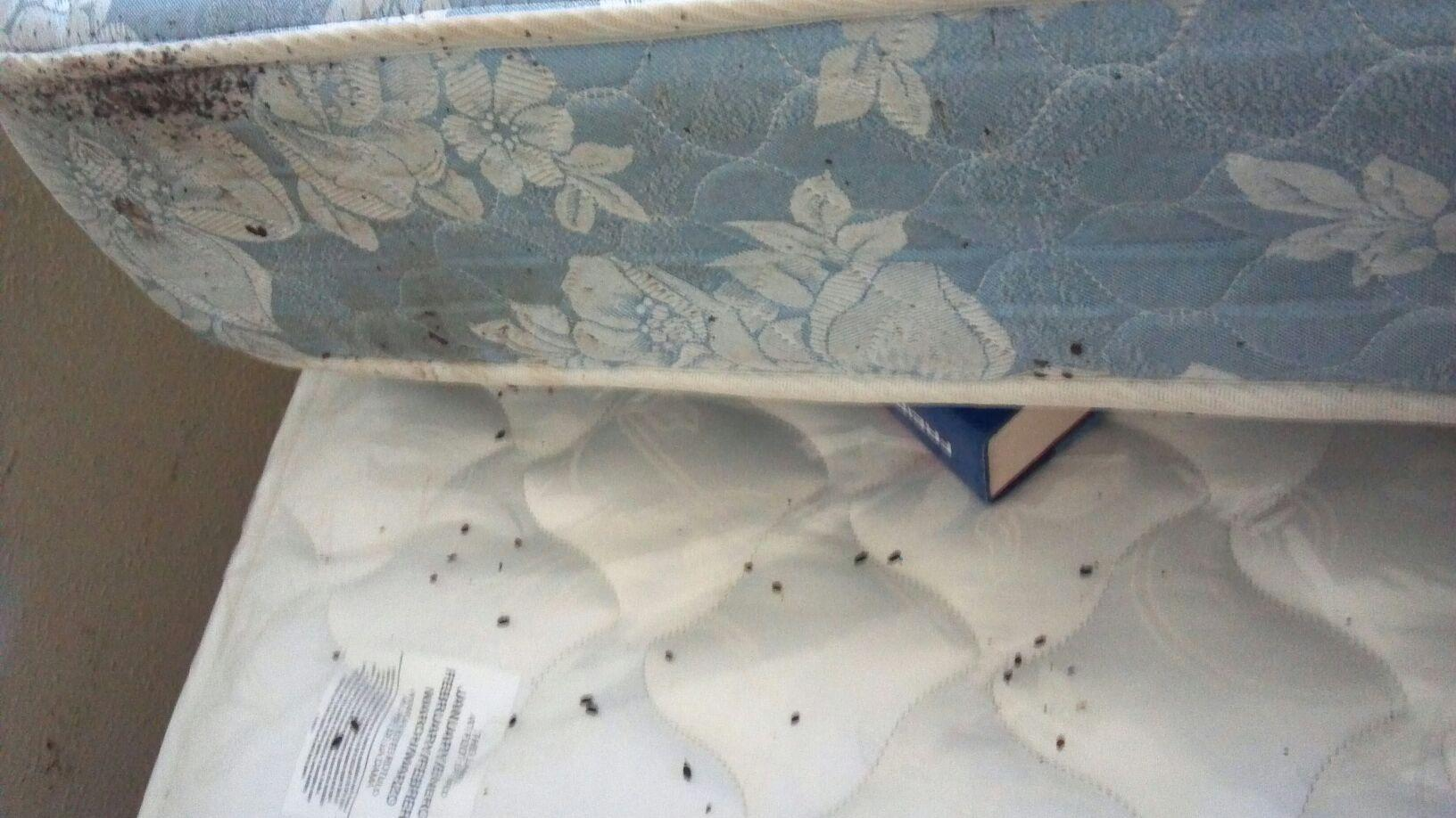 Bed Bugs In Mattress What To Look For