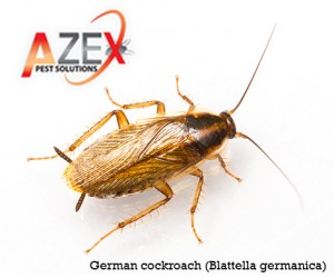 Feb 2 - german cockroach