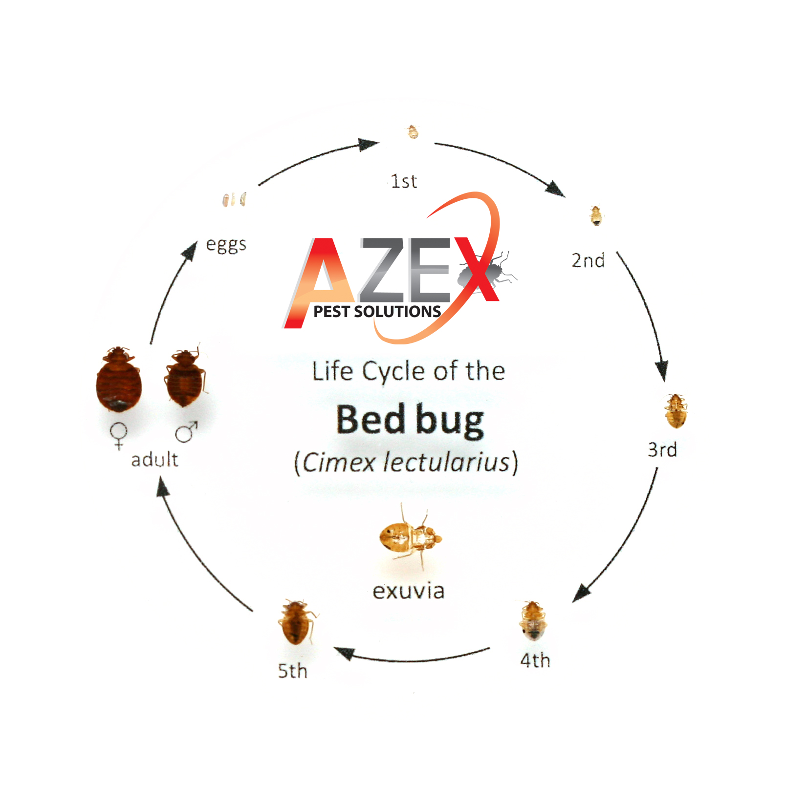 Find Bed Bugs Quot Before Quot They Find You Azex Pest