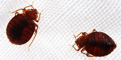 How bed bugs took over our homes — and our minds