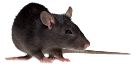 rat-header