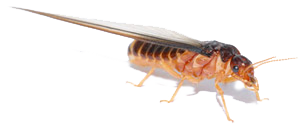 mortality rate of termites sprayed with The termite powder kills in three consecutive steps, first by absorbing the wax from the greasy coating of the termite, subsequently puncturing the termites exoskeleton and disrupts its soft waxy body structure.