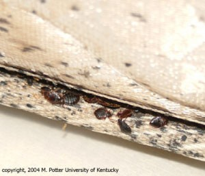 bed bug in bed lining