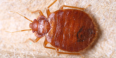 bedbug-featured-page