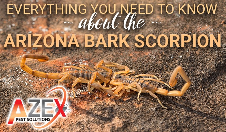 AZEX Pest Solutions | Bark Scorpion