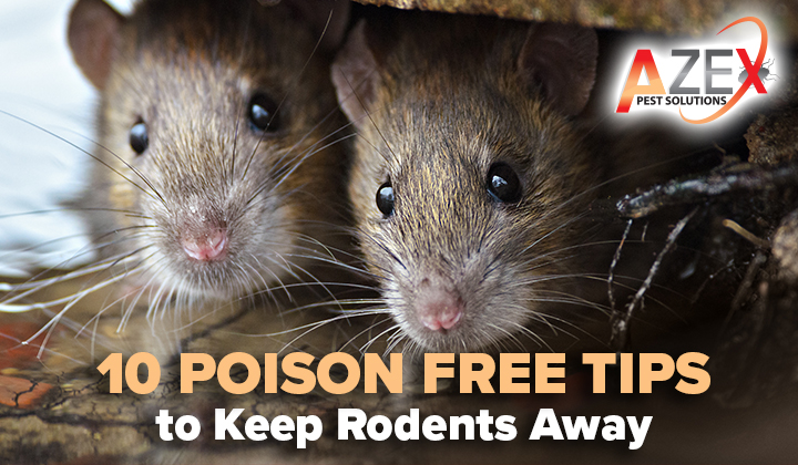 10 Poison Free Tips to Keep Rodents Away