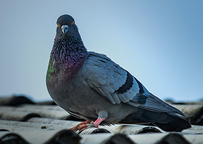 Save Money With Regular Pigeon Control