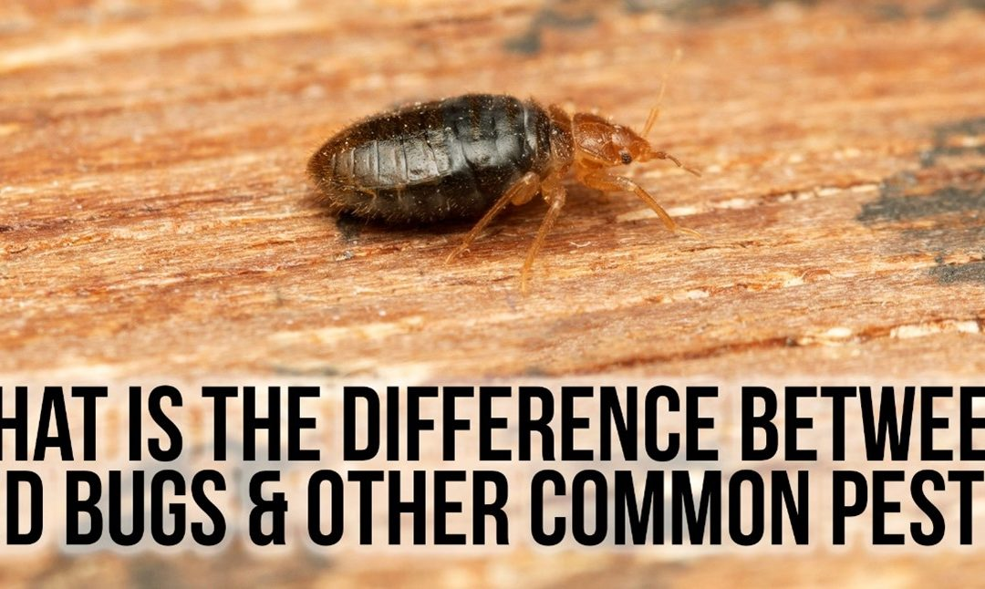 What is the Difference Between Bed Bugs & Other Common Pests?